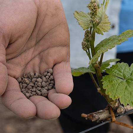 Samen für Weinbergs-Begrünung