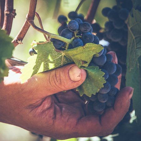 Pinot Noir Trauben