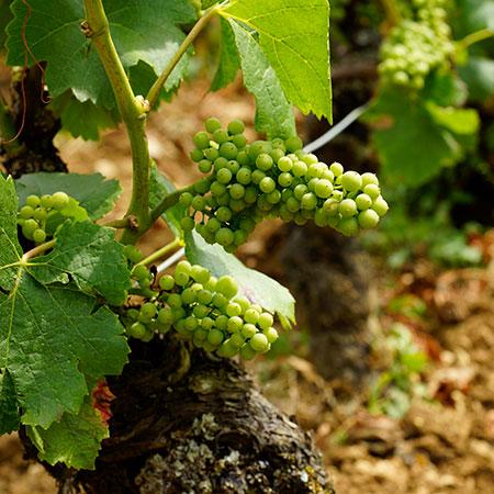 Chardonnay Trauben